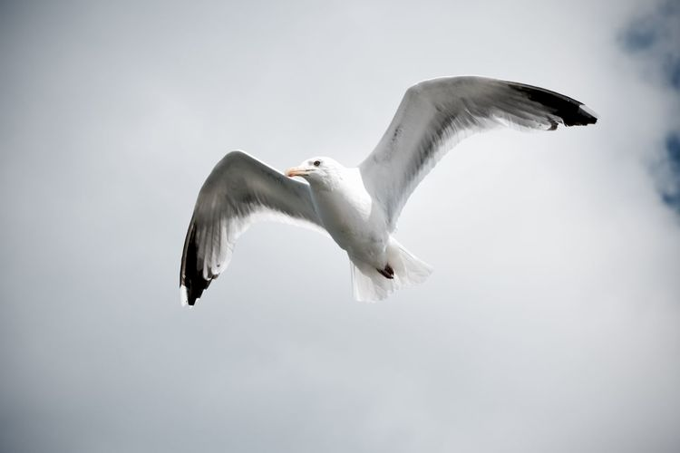 Beauty In Nature Bird Cloud - Sky Flying Freedom Motion Nature Seagull Spread Wings