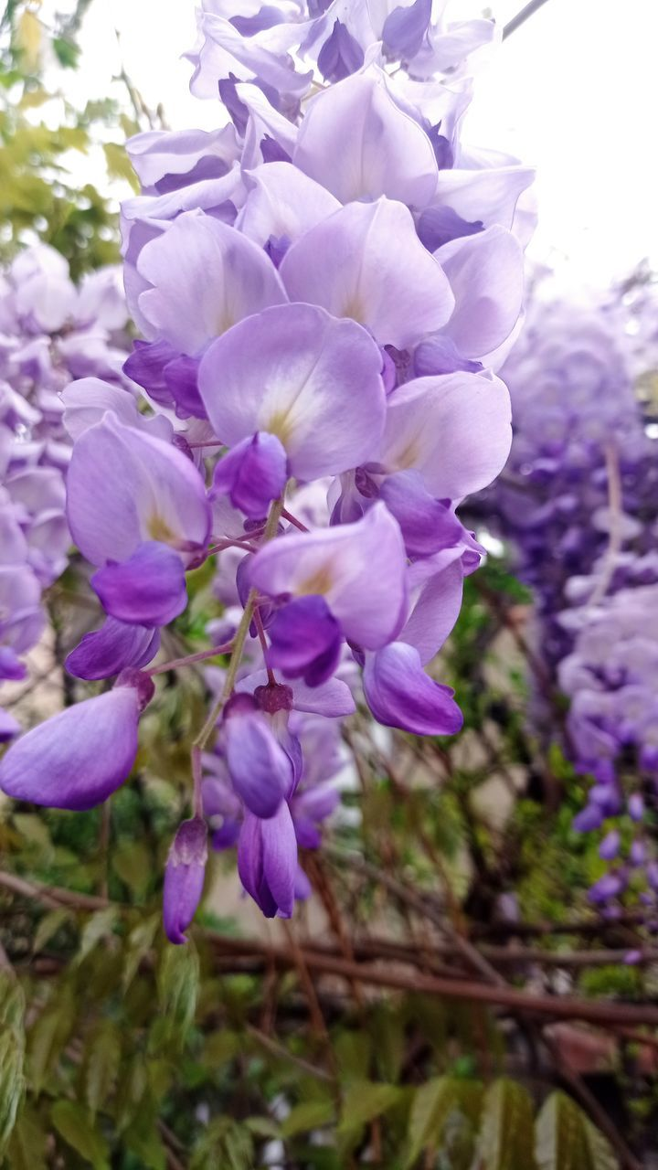 CLOSE-UP OF PURPLE FLOWERS IN BLOOM