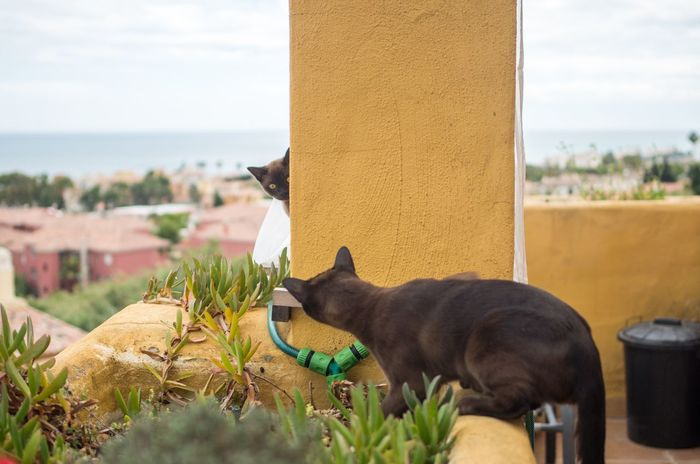 Brown Cat  Burmese Cat Cat Day Domestic Animals Looking At Each Other Outdoors Pets Playing Playing Cat Sky Terrace