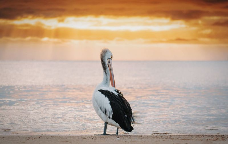 Pelican at beach against orange sky