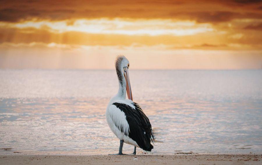Nature On Your Doorstep Soaking Up The Sun Sunset Golden Hour Beach On The Beach Ocean Pelican near Portarlington Pier, Australia Nature's Diversities Summer Sports