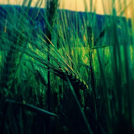 Nagykovacsi Summer Grain Grainfields Green Field Arpa Kalász