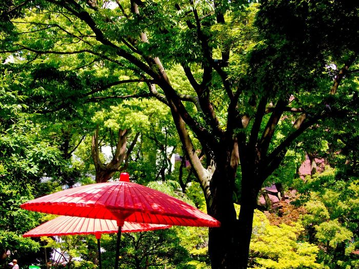 Tree Nature Outdoors Day No People Colors Red And Green Japanese Parasol Japanese Traditional