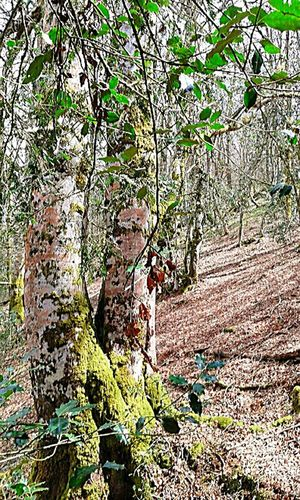Asturias, España Asturias Paraiso Natural🌿🌼🌊🌞 Montagne Bellobellissimo Forest Eye For Photography Eyem Gallery Eyem Best Shot - Architecture Bosque Y Vida Plant Contemplation Forest Adventure Spain ❤ Tree Growth Nature Beauty In Nature Land Day Tranquility No People Sunlight Tree Trunk Non-urban Scene Trunk Outdoors Spain♥