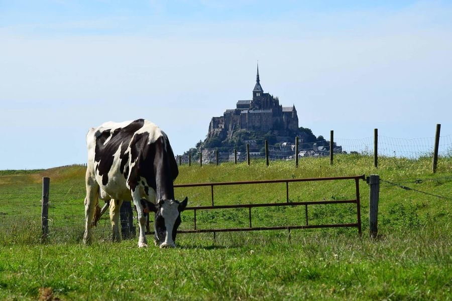 Grass Animal Themes Domestic Animals Field Clear Sky Green Color Outdoors Non-urban Scene No People Grassy Nature Green Landscape NIKON D5300 The Purist (no Edit, No Filter) Travel Destinations Cow Mont Saint-Michel Normandie, France France Photos France 🇫🇷 Backgrounds Getting Inspired Enjoying Life Colour Of Life