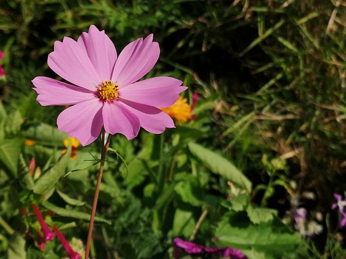 ▫️Last summer flowers▫️ Beauty In Nature Garden Cosmos EyeEm Selects Eyemphotography EyEmNewHere First Eyeem Photo Flower Head Flower Pink Color Petal Close-up Plant In Bloom Blooming