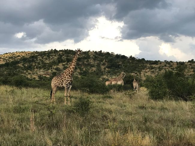 greeting the giraffes Noedit Nofilter Animals In The Wild Sky Nature Animal Themes Cloud - Sky Mammal Day Giraffe Safari Animals Beauty In Nature Outdoors