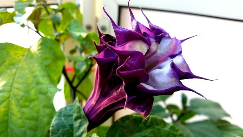 Flower Purple Nature Fragility Beauty In Nature Leaf No People Petal Close-up Plant Day Flower Head Outdoors Growth Freshness Datura Stechapfel Trompetenblume