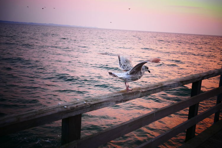 Nature Seagulls