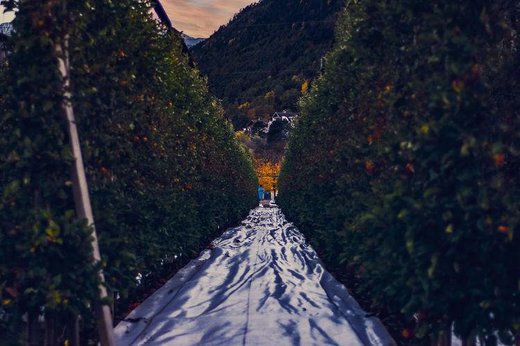 Apple plantations in trentino alto adige