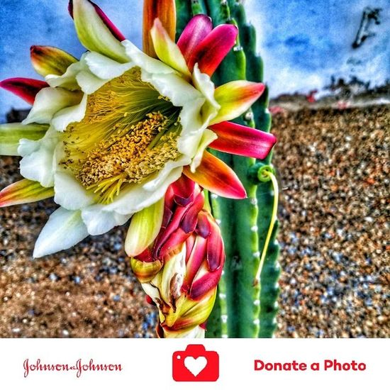 Special effects on a catus flowering plant color inhanced 12 hour once a year bloom No People Flower Nature Close-up Outdoors Garden Of The Gods Ocean Beach San Diego Just Shooting Around!! Beauty In Nature Johnson And Johnson Donate A Photo Johnson & Johnson Donate To Help Special Effects Collection Color Enhanced Catus Flower Catus Plant Plants Photography Nature Donate J&j To Better Lives Growth Flower Head