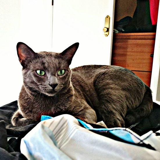 Cat Mypet Panter Bastet Domestic Animals Animal Pets