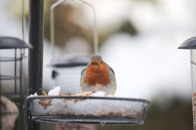 A good song needs a good meal... Snow EyeEm Selects Bird Animal Themes Animal Vertebrate Animal Wildlife One Animal Animals In The Wild Perching Focus On Foreground Robin No People Day Close-up Bird Feeder Selective Focus Outdoors Metal Container Nature