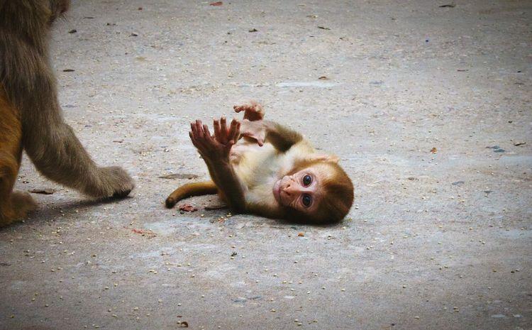 Monkey Monkeys Monkey Temple Monkeytemple Baby Baby Monkey Ape Animals Animal Animal Photography JaipurIndia Indiapictures Travel Travel Photography Indian Temples Indian Animals