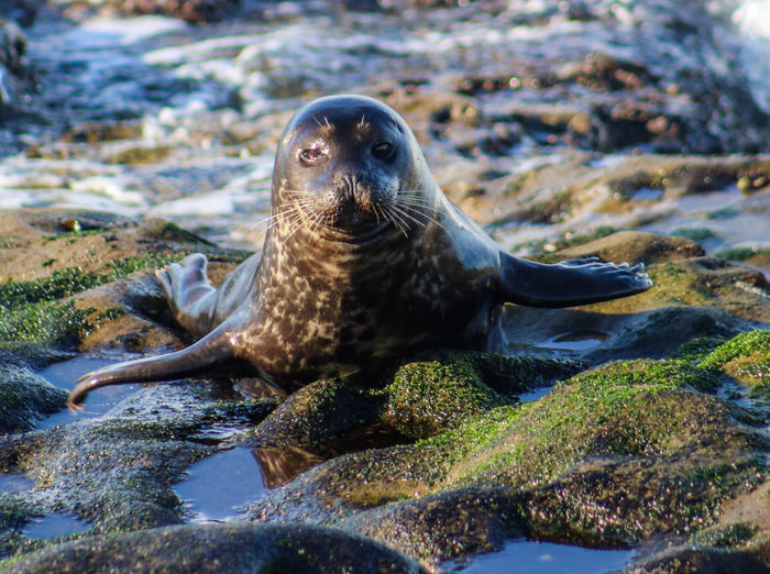 Animal Themes Animal Wildlife Animals In The Wild Aquatic Mammal Beach Close-up Day Mammal Nature No People One Animal Outdoors S Sea Lion Seal - Animal Water Wet Wildlife Wildlife & Nature Wildlife Photography