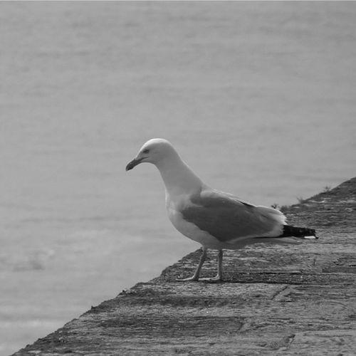 Le Croisic Loire Atlantique Bretagne Ocean Jetée Seagull