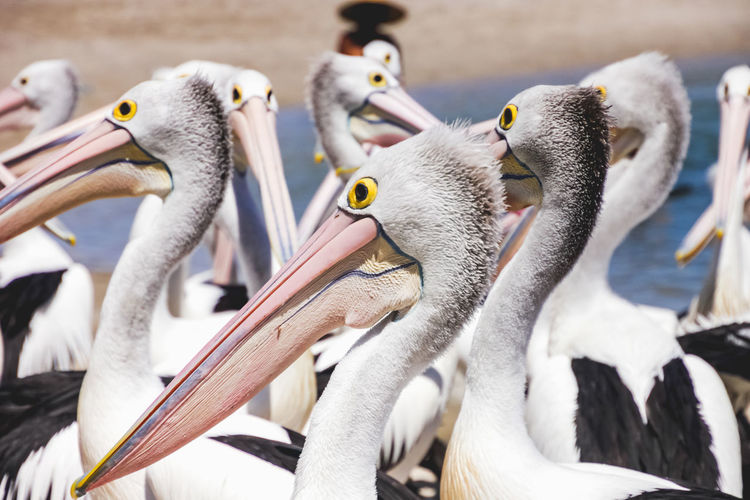 close up of pelicans at a local beach waiting for a regular feed by a local fish market Animal Bird Vertebrate Animal Themes Animals In The Wild Animal Wildlife Group Of Animals Large Group Of Animals Day No People Beak Focus On Foreground Water Pelican Nature Flock Of Birds Togetherness Animal Family Animal Neck Pelicans Beach