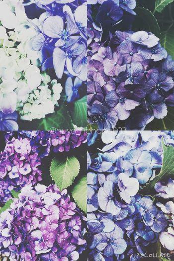 今年撮った紫陽花まとめ。 紫陽花2015Photo 紫陽花-hydrangea- 紫陽花 気まぐれ 寒色