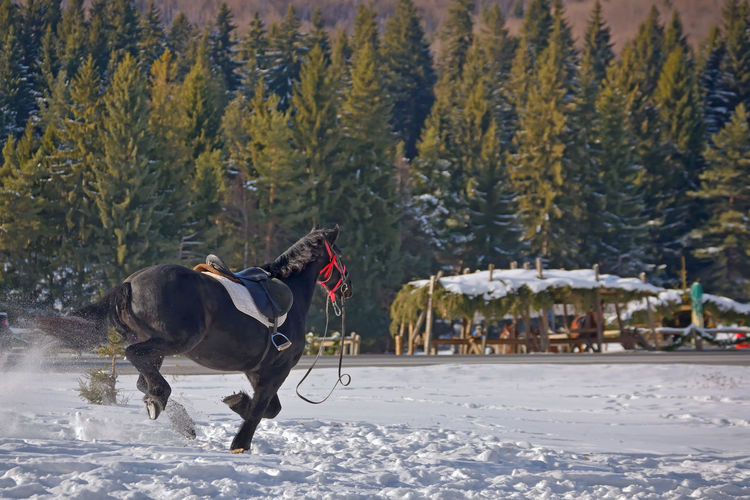 Black Horse galloping on snow Animal Themes Architecture Beauty In Nature Black Cold Temperature Day Domestic Animals Galloping Horse Horse Riding Mammal Nature No People Outdoors Run Snout Snow Tree Winter