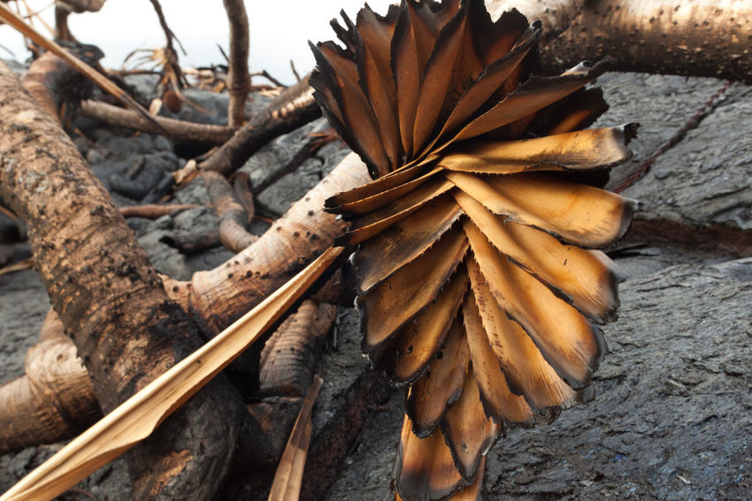 Scorched Palmtree Apocalypse Bark Earth Palm Leaf Ash Beauty In Nature Burn Mark Close-up Devastation Focus On Foreground Frond Growth Heart Of Palm High Angle View Leaf No People Plant Rainforest Scorched Soot Still Life Textured  Tree Wilted Plant Wood - Material