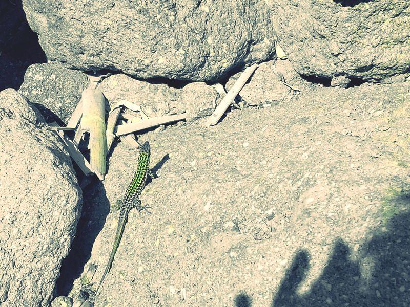 Sunlight Outdoors Nature Lizard Lizards In The Sun Animal Animal In The Beach