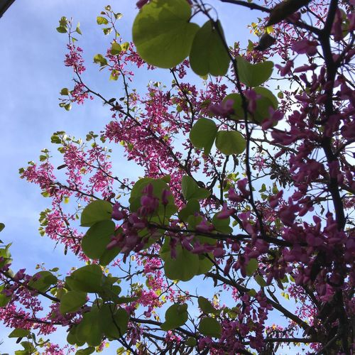 Judea Tree My Garden @my Home IPhone Photography