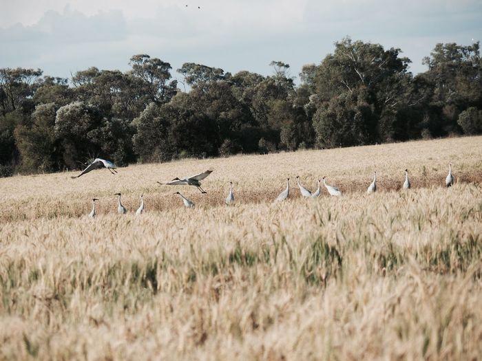 Birds Blackandwhite Chickpeas Country Country Life Creek Farm Farming Oats Trees Water Wheat Wheat Field