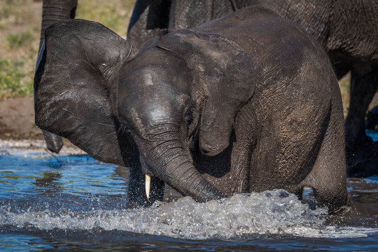 Close-up of elephant calf in river with its mother