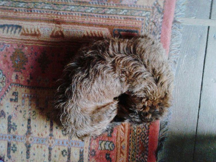 Dog Cute Home Sweet Home Baroque Carpet Ma Boule De Poil @theladyinred