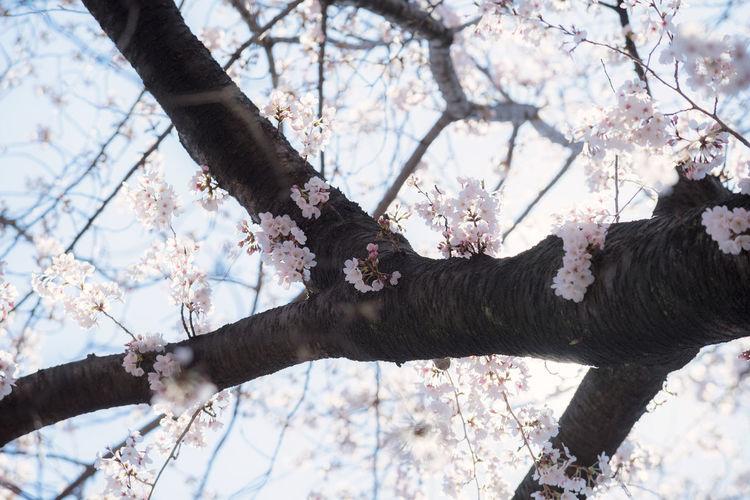 Sakura on the