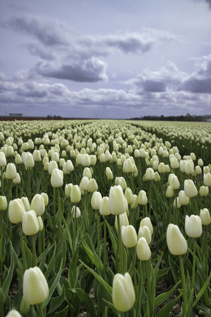 Beauty In Nature Close-up Cloud - Sky Day Field Flower Flower Head Fragility Freshness Green Color Growth Landscape Nature No People Outdoors Plant Rural Scene Scenics Sky Snowdrop The Netherlands Tranquil Scene Tranquility Tulips