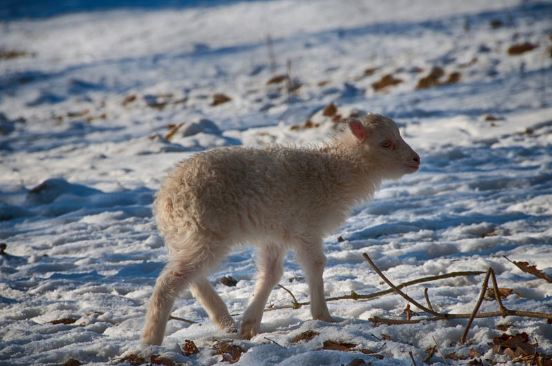 Lamb Walking On Snow Covered Field
