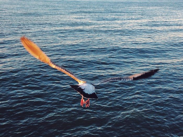 Rear view of a bird flying with spread wings over water