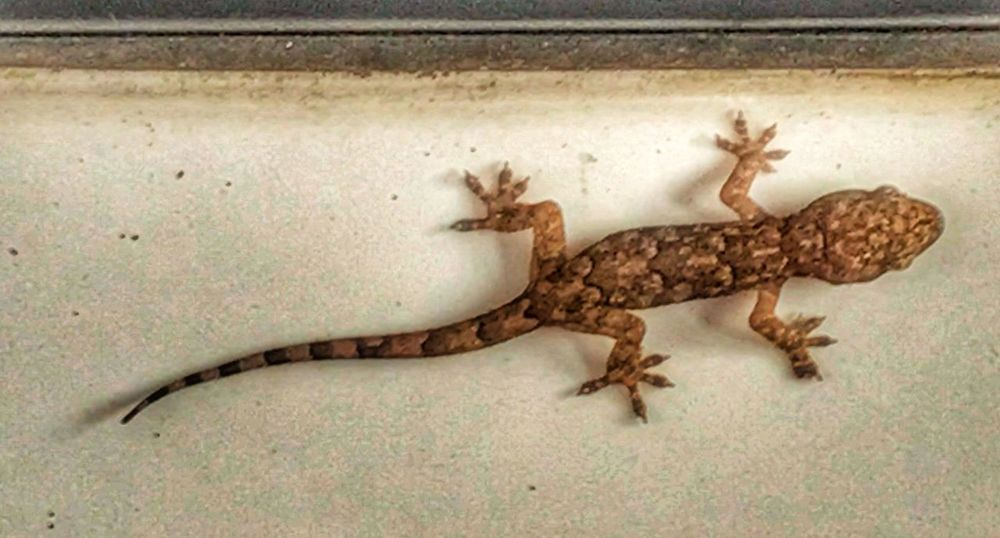 Lizard On My Truck At The Gas Station After Sunrise Photos Yesterday Adapted To The City
