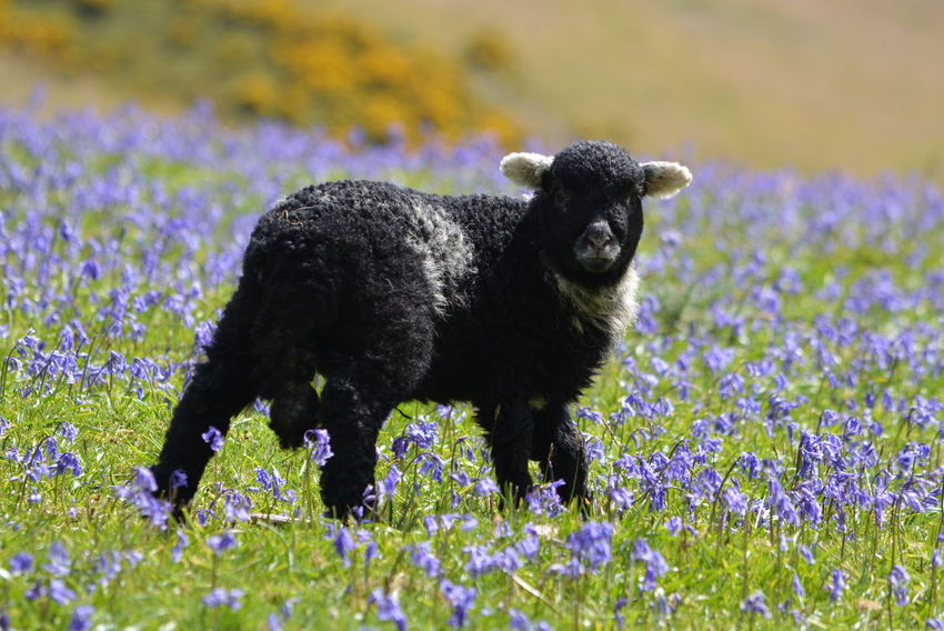Bluebell Field Herdwick Herdwick Lamb Herdwick Sheep Animal Themes Animal Wildlife Bluebell Bluebell Flower Bluebells Bluebells, Spring, Springtim Bluebells. Wild [plant. Nature. Blue One Animal Outdoors