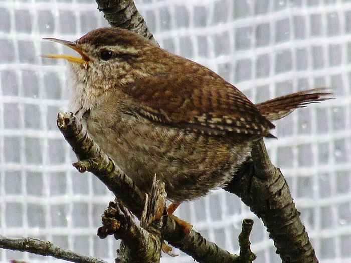 Wren singing! Bird One Animal Perching Animal Wildlife Day Nature Animals In The Wild No People Outdoors Branch Beauty In Nature EyeEm Selects Close-up Wren WildBird_Photography Wildbird Wildlife Photography Wild Bird Singing Wild Birds EyeEmNewHere