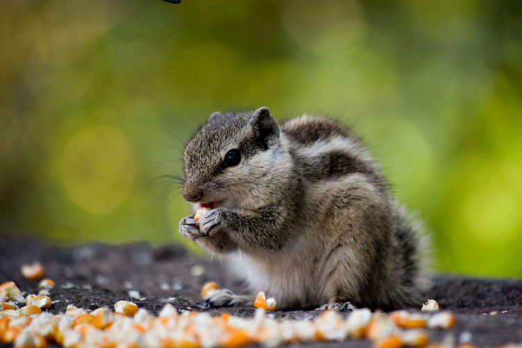 Close-up of squirrel eating corn kernel on land