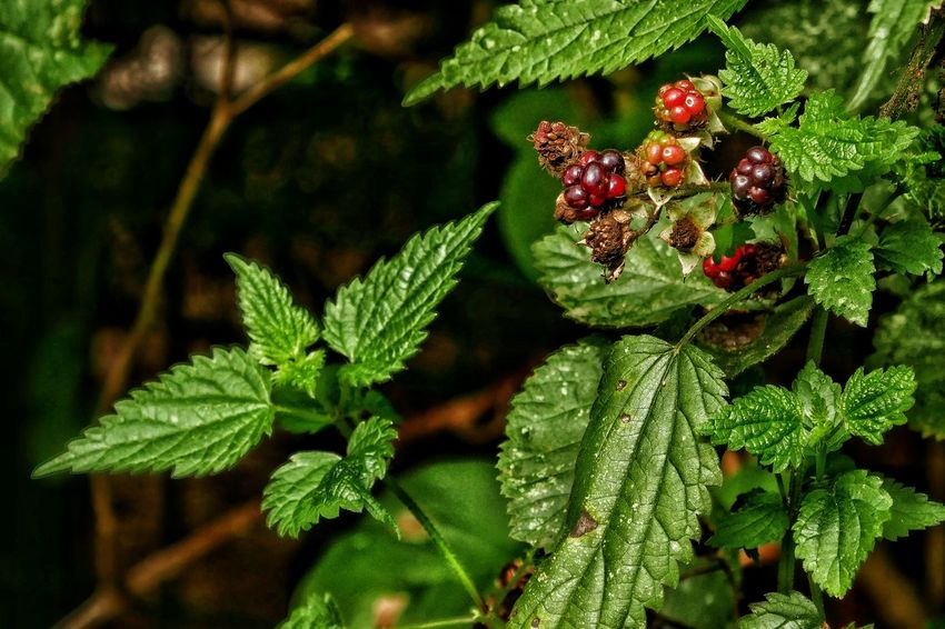 Brombeeren Green Color Plant Close-up Nature Red Day Botany No People Year Cycle Garden Taking Photos Nature Photography Summertime Nature_collection Macro EyeEm Best Shots - Nature Stinging Nettles