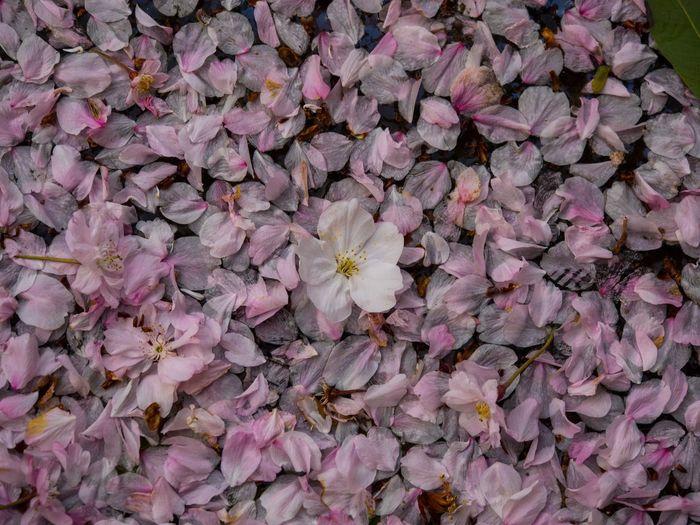 桜も散ってきましたね… Flower Freshness Fragility Petal Beauty In Nature Nature Pink Color Backgrounds Growth Full Frame Flower Head Blooming No People Outdoors Close-up Day