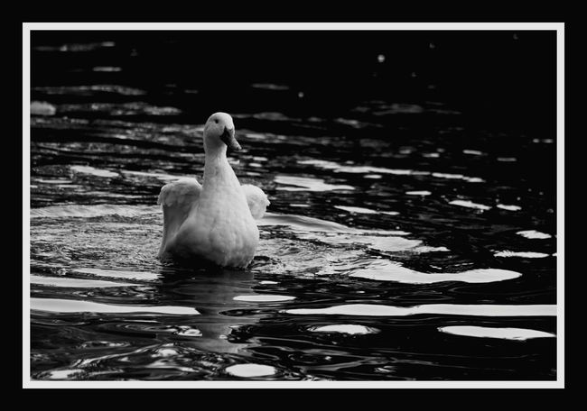 Canon 70d EyeEm The Best Shots Moment Lens 75 -300mm My Unique Style Black & White Bird FromChile Hello World