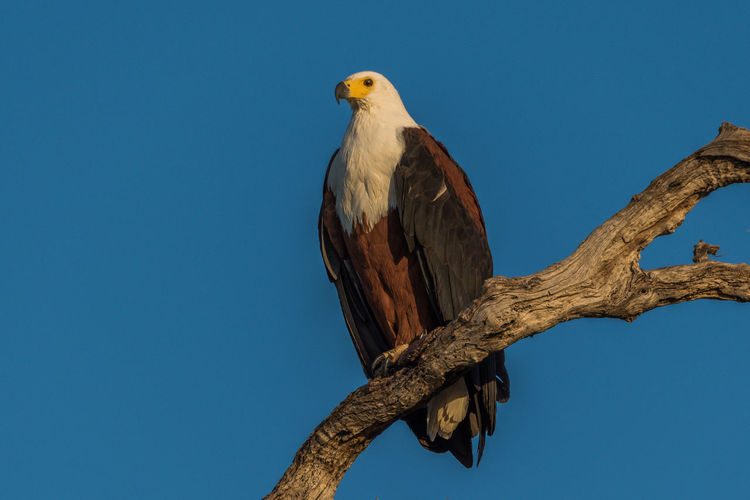 Low Angle View Of African Fish Eagle Perching On Tree Against Clear Blue Sky