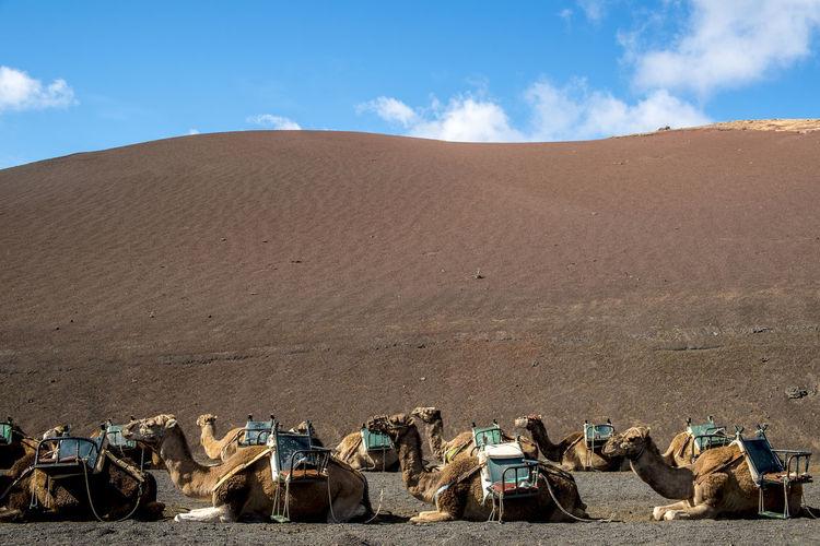 Camel Train Resting In Lanzarote