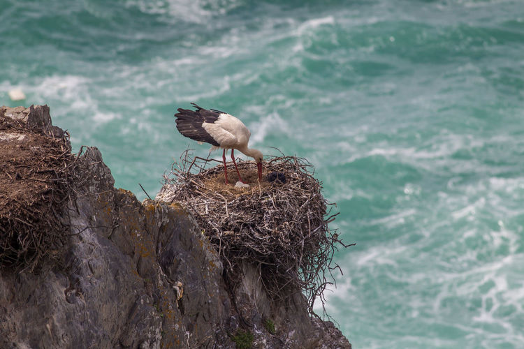 Storks perching on nest over rock against sea
