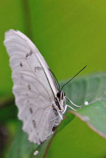 White-winged butterfly Butterfly ❤ Macro Beauty Marco Beauty Marco Photography Animal Themes Animals In The Wild Beautiful Insects Beauty In Nature Butterfly Butterfly - Insect Butterfly Collection Close-up Exotic Animals Exotic Butterfly Exotic Insect Fragile Beauty Fragility In Nature Insect Photography Insects  Summer Summer Insects White Wings Wings