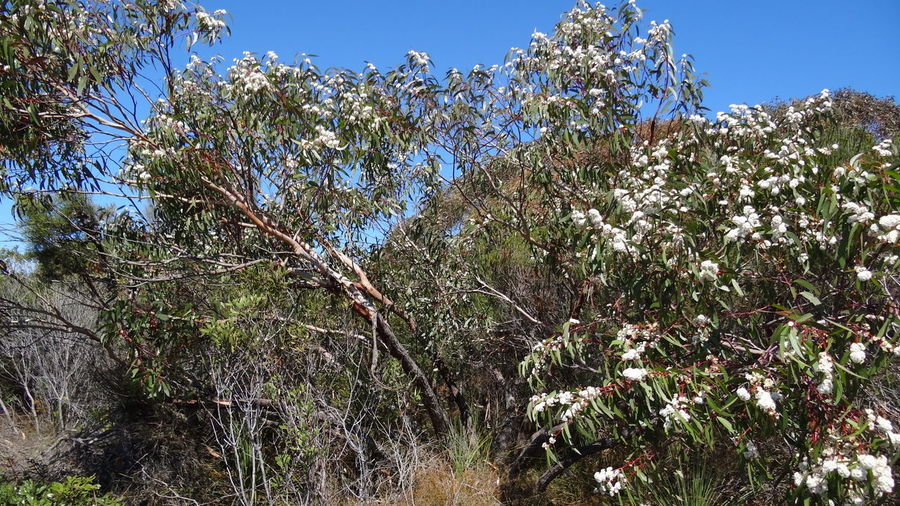 Eucalyptus Calycogona Outback Beauty In Nature Blossom Bush Bushes Bushland Clear Sky Day Eucalyptus Eukalyptus Flower Flowering Plant Forest Gooseberry Mallee Green Color Growth Land Low Angle View Mallee Nature No People Non-urban Scene Outdoors Plant Scrub Sky Square Fruited Mallee Sunlight Tranquil Scene Tranquility Tree Weiss White White Blossoms White Flower White Flowers