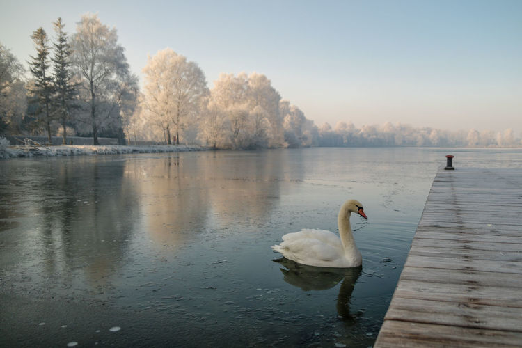 Winterdream at the lake Winter Animal Animal Themes Animals In The Wild Beauty In Nature Bird Day Lake No People One Animal Outdoors Reflection Swan Swimming Water Water Bird White Color EyeEmNewHere
