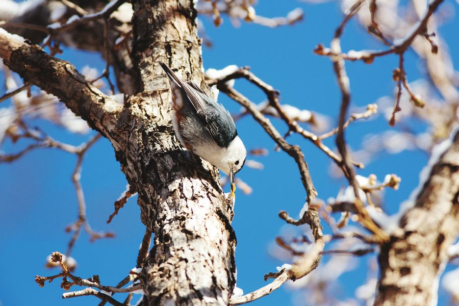 A nuthatch hides potato chip crumbs in the bark of a tree Animal Wildlife Nature Tree Trunk Branch Animals In The Wild Cache Tree Bird Animal Themes White-breasted Nuthatch Nuthatch Winter Morning Waiting For Spring Maxwell Canyon Utah Bare Tree Tree Trunk Winter One Animal Tree Southern Utah