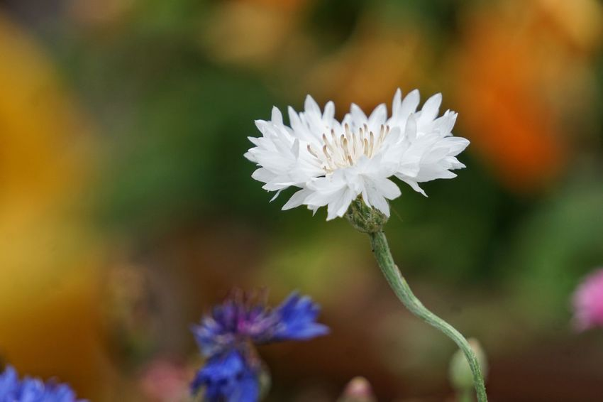 🌼🌼 white cornflower 🌼🌼 Vulnerability  Living Organism Uncultivated Multi Colored Defocused Background Blurred Background Cyanus Cyanus Segetum Flowering Plant Flowers, Nature And Beauty Flower Photography In My Garden Flower Collection EyeEm Flower EyeEm Gallery Kornblume Cornflower Flower Head Flower Petal Close-up Plant Pollen Stamen In Bloom Blossom Wildflower Blooming Single Flower Plant Life