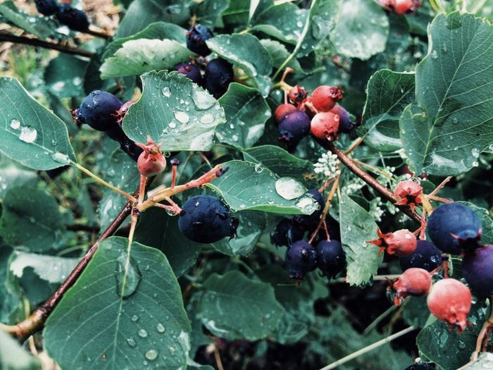 Close-up of wet berries growing on tree