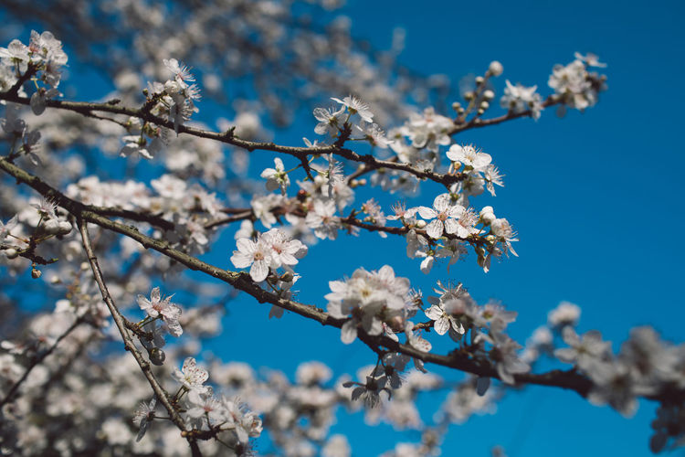 Cherry Blossom Tree Branch Beauty In Nature Against The Sky Blue Sky Flower Flowering Plant White Nature Outdoors Spring Springtime Springtime Decadence
